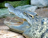 9 krokodil siam Royaltyfri Fotografi