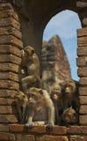 9 małpa Obraz Royalty Free
