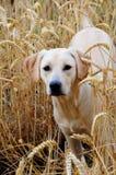 9 miesięcy labradorów szczeniak Obrazy Royalty Free