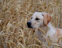 9 miesięcy labradorów szczeniak Fotografia Royalty Free