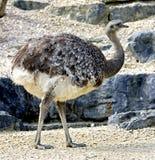 9 nandu驼鸟 免版税库存图片