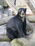 9 niedźwiadkowych spectacled obraz royalty free