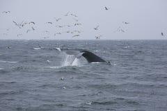 9 ogonów wieloryb Obrazy Royalty Free