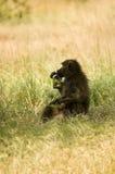 9 olive baboons Royaltyfria Bilder