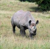 9 rhinocerous Стоковые Изображения RF