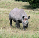 9 rhinocerous 免版税库存图片