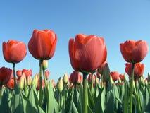 9 tulipan pola Obrazy Stock