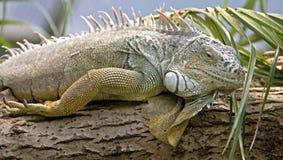 9 zielona iguana Obrazy Royalty Free