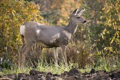 90 cerfs communs dans le jardin Photographie stock libre de droits