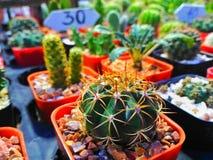 AÂ-kaktus Arkivfoton