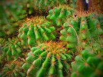 AÂ-Kaktus Stockfotos