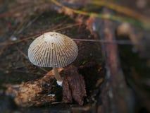 Amushroom& x28; of toadstool& x29; royalty-vrije stock foto's