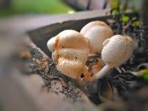 AÂ-mushroomu. x28; oder toadstool& x29; Lizenzfreies Stockfoto
