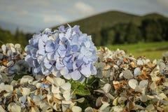 Açores海岛绿色海岛 免版税库存照片