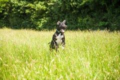 Ação alemão do cão do mastim que salta no campo de grama verde e amarelo fotografia de stock royalty free
