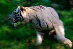 Ação branca da alta velocidade do tigre Fotografia de Stock