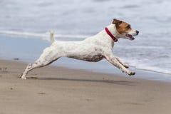 Ação da alta velocidade do cão Fotografia de Stock