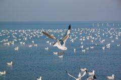 Ação da gaivota do voo Imagens de Stock