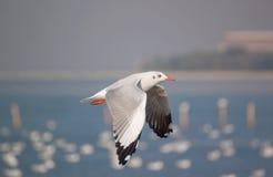 Ação da gaivota do voo Foto de Stock Royalty Free