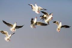 Ação da mostra da gaivota Imagens de Stock Royalty Free