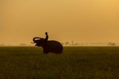 Ação da silhueta do elefante no campo do arroz no por do sol, Surin, Tha Imagens de Stock