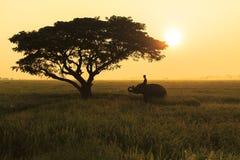 Ação da silhueta do elefante no campo do arroz no por do sol, Surin, Tha Imagem de Stock