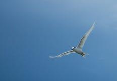 Ação 5 das gaivotas Imagens de Stock