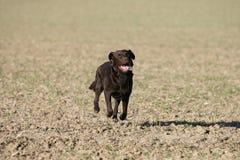 Ação de Brown Labrador Imagens de Stock