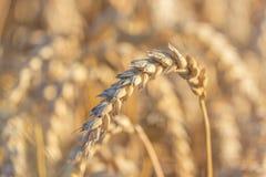 Ação de graças das orelhas do trigo Imagem de Stock