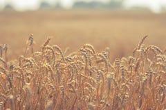 Ação de graças das orelhas do trigo Fotografia de Stock