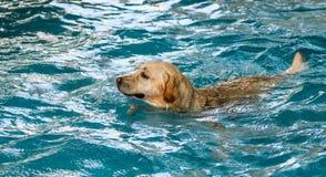 Ação 2 de Labrador Fotos de Stock