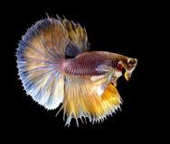 Ação de peixes de combate siamese Imagem de Stock