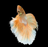 Ação de peixes de combate Siamese do ouro Imagem de Stock Royalty Free