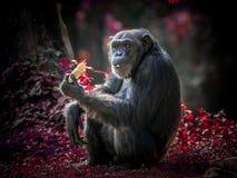 Ação de um chimpanzé Imagens de Stock