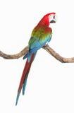 Ação do escarlate dos pássaros da arara no ramo da árvore Foto de Stock