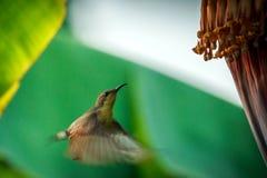 Ação do pássaro, Sunbird Fotos de Stock