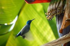 Ação do pássaro, Sunbird Fotos de Stock Royalty Free