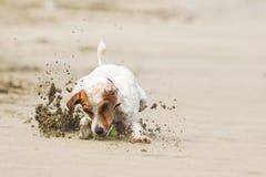 Ação pequena da alta velocidade do cão Imagem de Stock