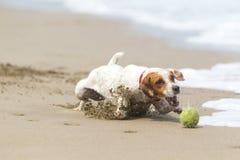 Ação pequena da alta velocidade do cão Fotografia de Stock Royalty Free