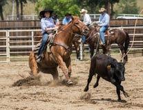 Ação Roping da vitela Fotos de Stock Royalty Free