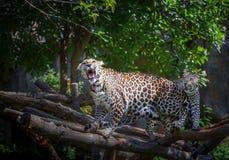 Ações do leopardo que rujem imagem de stock