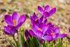 Açafrão, açafrões plurais ou croci no ect cor-de-rosa, violeta, azul, amarelo da extremidade Imagem de Stock Royalty Free
