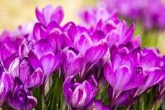 Açafrão, açafrões plurais ou croci no ect cor-de-rosa, violeta, azul, amarelo da extremidade Imagens de Stock