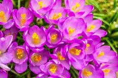 Açafrão, açafrões plurais ou croci no ect cor-de-rosa, violeta, azul, amarelo da extremidade Foto de Stock