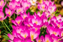 Açafrão, açafrões plurais ou croci no ect cor-de-rosa, violeta, azul, amarelo da extremidade Fotografia de Stock Royalty Free