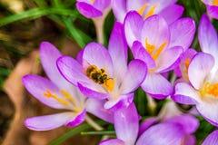 Açafrão, açafrões plurais ou croci no ect cor-de-rosa, violeta, azul, amarelo da extremidade Fotos de Stock Royalty Free