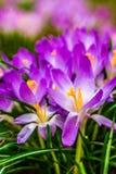 Açafrão, açafrões plurais ou croci no ect cor-de-rosa, violeta, azul, amarelo da extremidade Foto de Stock Royalty Free