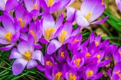 Açafrão, açafrões plurais ou croci no ect cor-de-rosa, violeta, azul, amarelo da extremidade Imagem de Stock