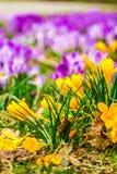Açafrão, açafrões plurais ou croci no ect cor-de-rosa, violeta, azul, amarelo da extremidade Fotografia de Stock