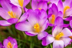 Açafrão, açafrões plurais ou croci no ect cor-de-rosa, violeta, azul, amarelo da extremidade Imagens de Stock Royalty Free